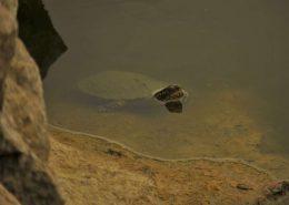 riječna kornjača