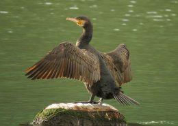 Veliki vranac (Phalacrocorax carbo) u Rijeci dubrovačkoj
