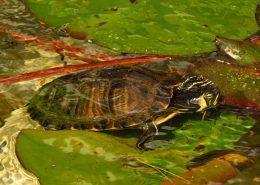 Žutouha kornjača (Trachemys scripta scripta)