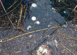 uginula glavata želva u Portu