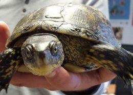 barska kornjača (Emys orbicularis)