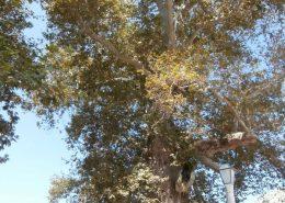 Platana (Platanus orientalis L.) u Trstenom