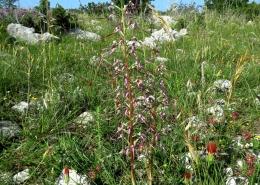 Jadranska kozonoška (Himantoglossum adriaticum)