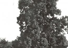 Gupčeva lipa početkom XX. st.
