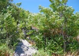Pajasen - Ailanthus altissima
