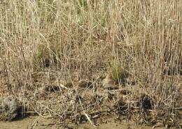 Monitoring preletnice 1 - šljuka kokošica Gallinago gallinago
