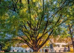 Ginkgo iz Daruvara predstavnik Hrvatske na natjecanju Europsko stablo 2020. godine
