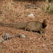 Mali indijski mungos (Herpestes javanicus auropunctatus_arhiva NP Mljet)
