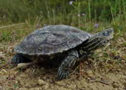 Riječna kornjača (Mauremys rivulata)-Toni Koren (Udruga Hyla